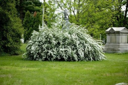 ukrasni-grmovi-spirea-spiraea-x-vanhouttei