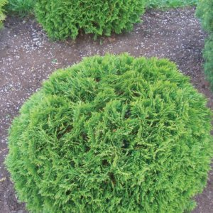 ukrasni-grmovi-thuja-occidentalis-danica