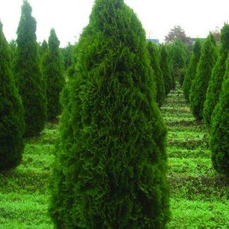 ukrasni-grmovi-thuja-occidentalis-smaragd-2
