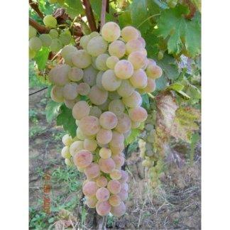 vinova-loza-stone-sorte-vinove-loze-kraljica-vinograda