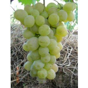 vinova-loza-stone-sorte-vinove-loze-muskat-italija
