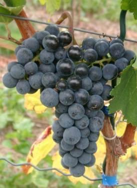 vinova-loza-vinske-merlo-1