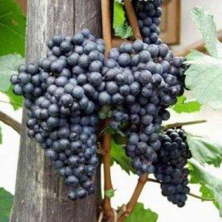 vinova-loza-vinske-sorte-frankovka