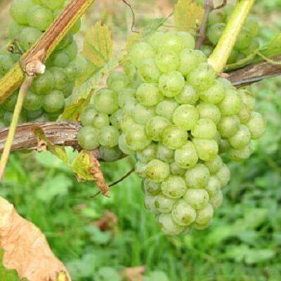 vinova-loza-vinske-sorte-muskat-otonel-2