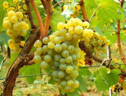 vinova-loza-vinske-sorte-sardone