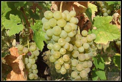 vinova-loza-vinske-sorte-smederevka-2