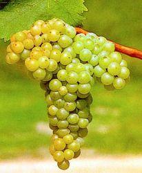 vinova-loza-vinske-sorte-smederevka