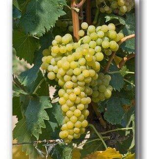 vinova-loza-vinske-sorte-tamjanika-bela