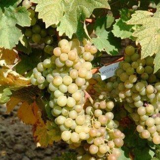 vinova-loza-vinske-sorte-vinove-loze-neoplanta-1