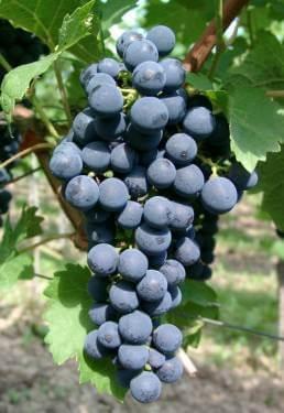 vinova-loza-vinske-sorte.kaberne-sovinjon