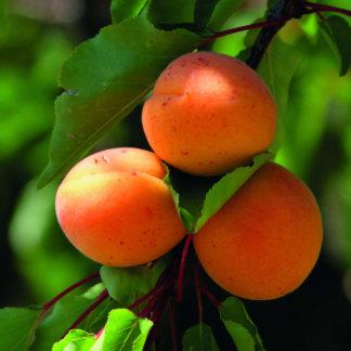 vocne-sadnice-kajsije-madjarska-najbolja