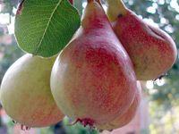 vocne-sadnice-kruska-lubenicarka