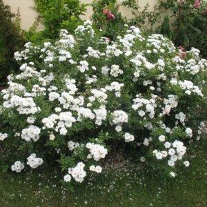 Žbunaste ruže
