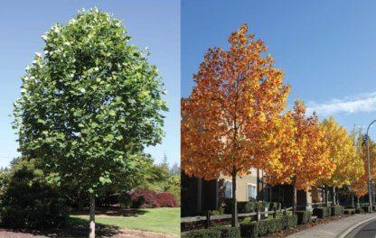liscarsko-drvece-tulipanovac-liliodendron-tuipifera