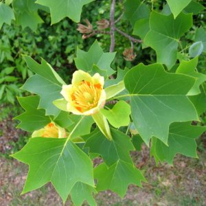 liscarsko-drvece-tulipanovac-liriodendron-tulipifera-1