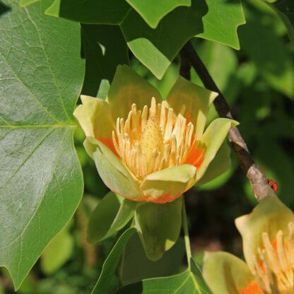 liscarsko-drvece-tulipanovac-liriodendron-tulipifera-2