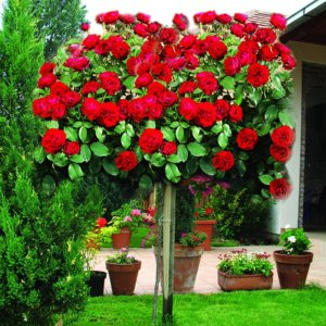 Ruže stablašice - Kuglaste forme
