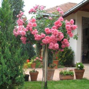 Ruže stablašice - Padajuće forme