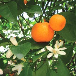 juzno-voce-mandarina