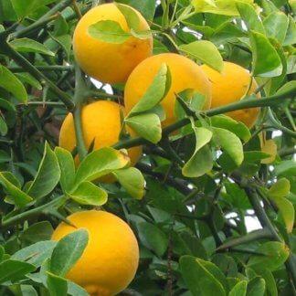 juzno-voce-sibirski-limun-poncirus-trifoliata