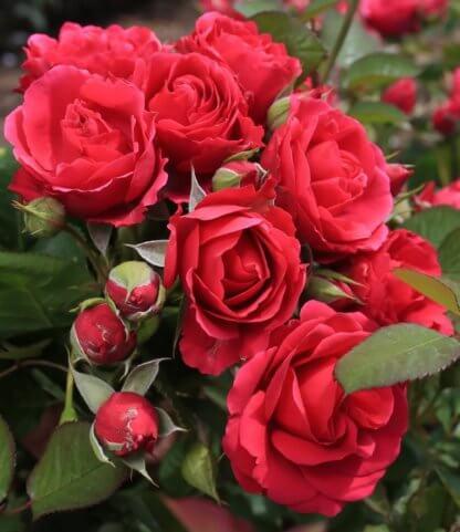 ruze-mnogocvetne-floribunde-sofija