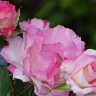 ruze-stablasice-sarl-aznavur-charles-aznavour