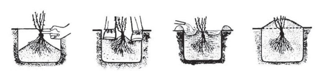 postupak-sadnje-ruza