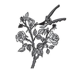 rezidba-ruza-u-vegetaciji