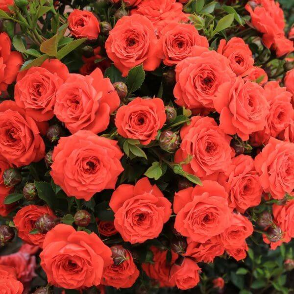 ruze-mini-patuljaste-oranz-juvel-orange-juwel