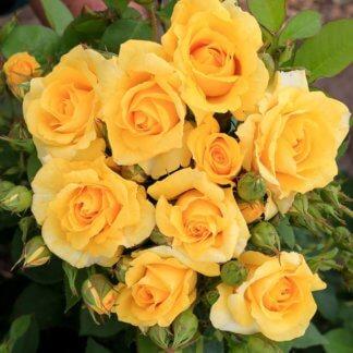 ruze-mnogocvetne-floribunde-karte-de-or-carte-dor