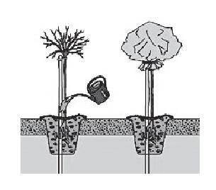 sadnja-ruza-stablasica
