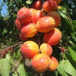 vocne-sadnice-kajsije-visoko-kalemljena-novosadska-rodna