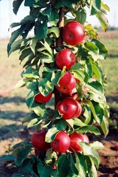 stubasto-voce-stubasta-jabuka-kraljica-cardas-2
