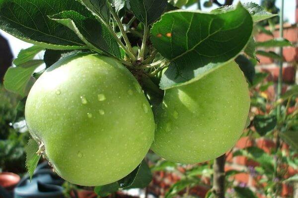 stubasto-voce-stubasta-jabuka-zeleni-dragulj-2