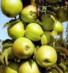 stubasto-voce-stubasta-jabuka-zeleni-dragulj