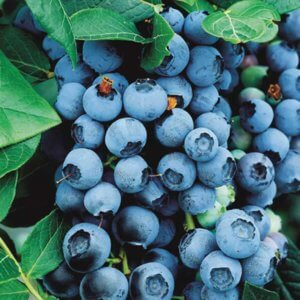 jagodasto-voce-borovnica-blukrop-bluecrop