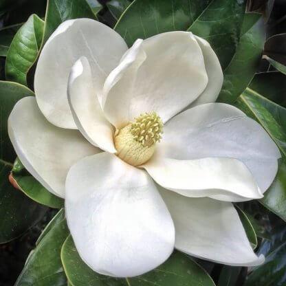 liscarsko-drvece-magnolia-grandiflora-ferruginea-krupnocvetna-zimzelena-magnolija
