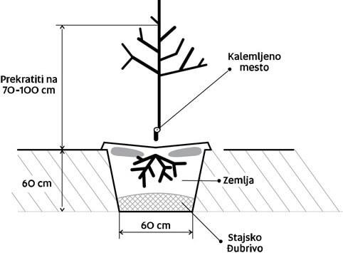 sadnja-voca-skica