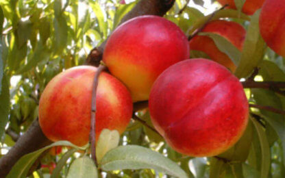 patuljasto-voce-patuljasta-breskva-kv-nektarina-1