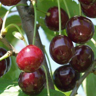sadnice-visnje-uj-fehirtes-ujfehertoi-furtos-2