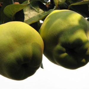 vocne-sadnice-dunja-hemus-1