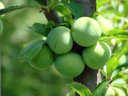 vocne-sadnice-sljiva-zelena-renkloda