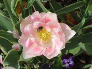 solitarna-pcela-na-cvetu