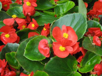 sezonsko-cvece-begonija-begonia-semperflorens-3
