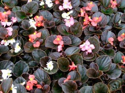 sezonsko-cvece-begonija-begonia-semperflorens-4