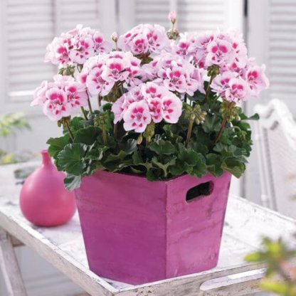 sezonsko-cvece-muskatle-pelargonium-zonale-1
