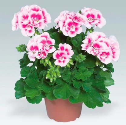 sezonsko-cvece-muskatle-pelargonium-zonale