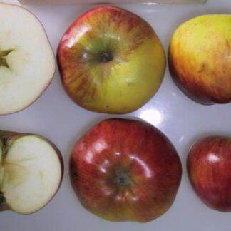 vocne-sadnice-jabuka-kolacara