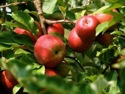 vocne-sadnice-jabuka-krstovaca